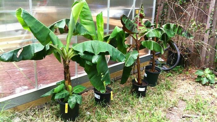 planter banane bien développées
