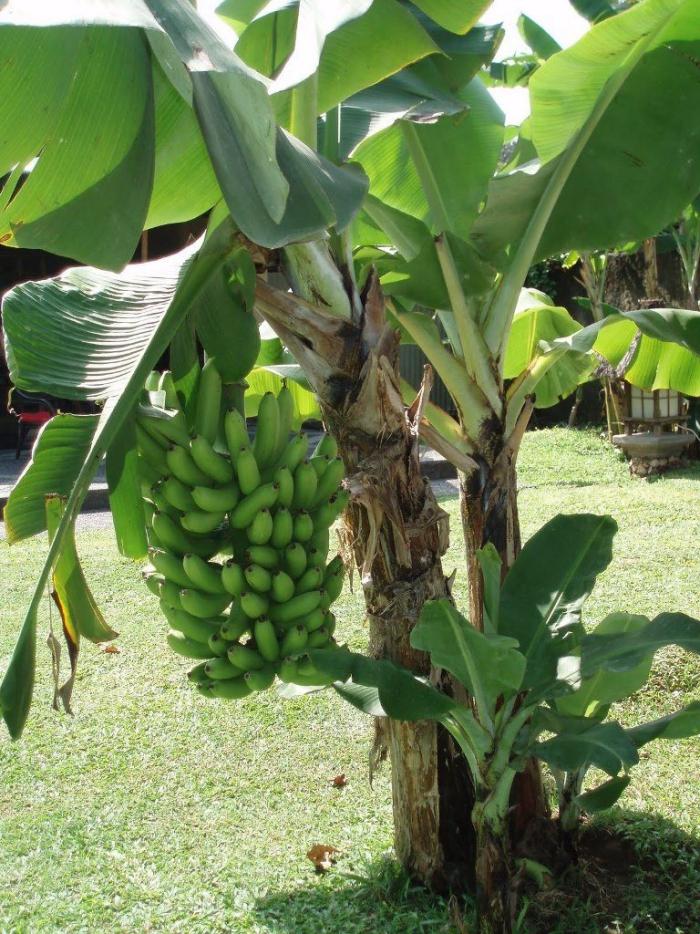 planter banane comme une grappe