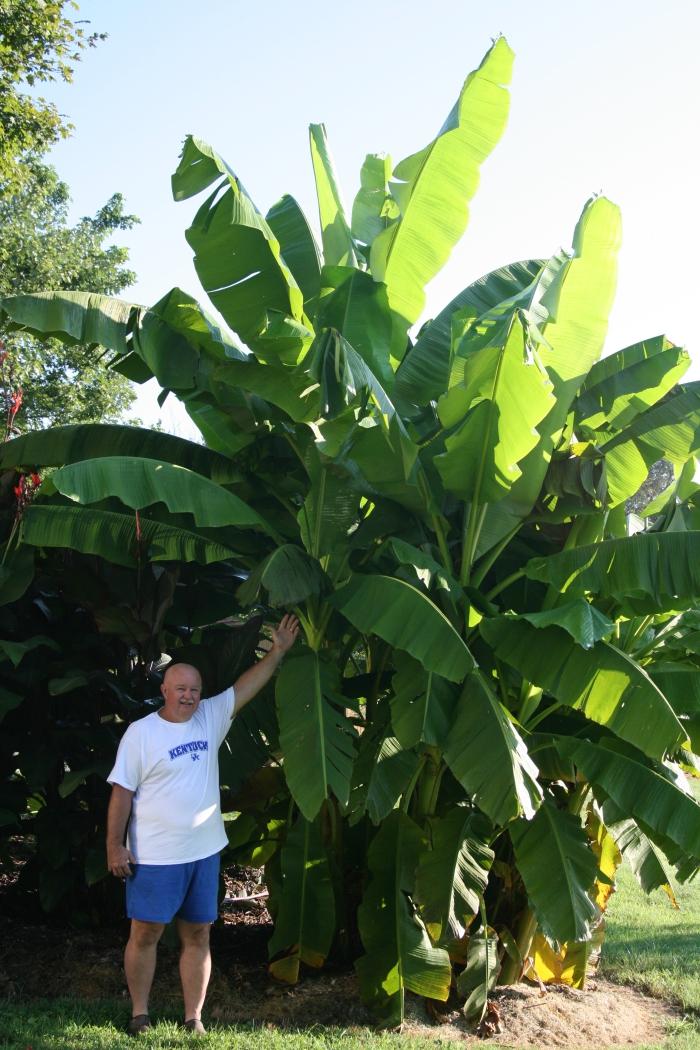 planter banane 4 à 5 mètres