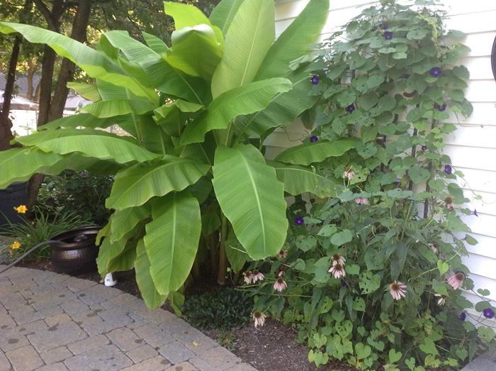 planter banane à l'abri
