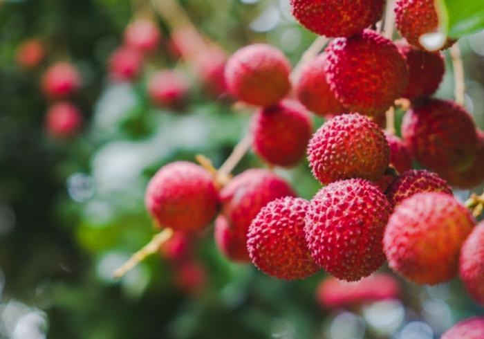arbre avec fruits litchi bienfaits