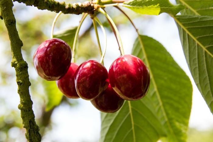 arbre cerisier jardiner avec la lune conseils