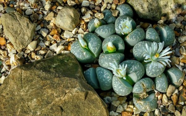 lithops aux feuilles vertes