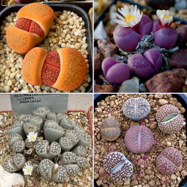 lithops dorotheae et autres espèces