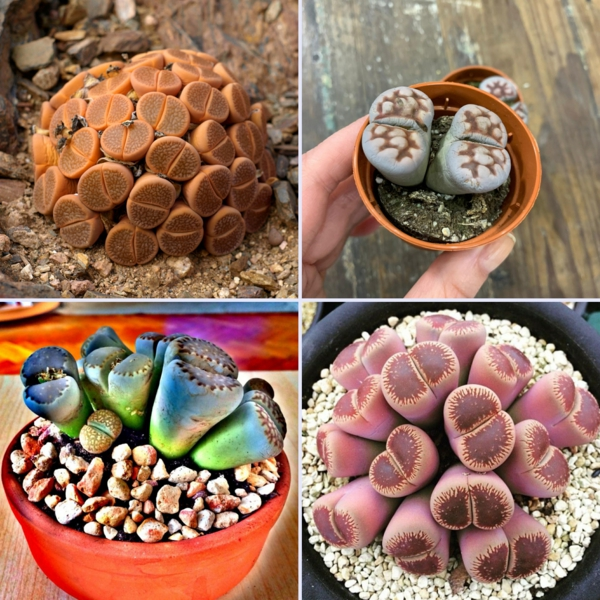 plantes désertiques lithops
