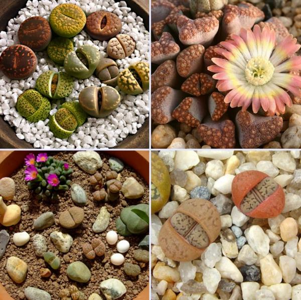 plantes succulentes lithops pierres vivantes