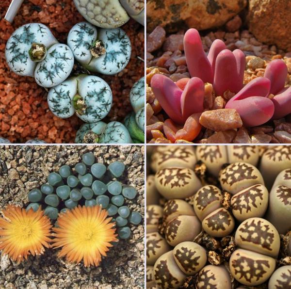 plantes succulentes lithops