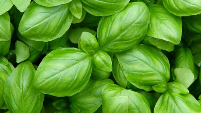 basilic plante aromatique jardiner au naturel