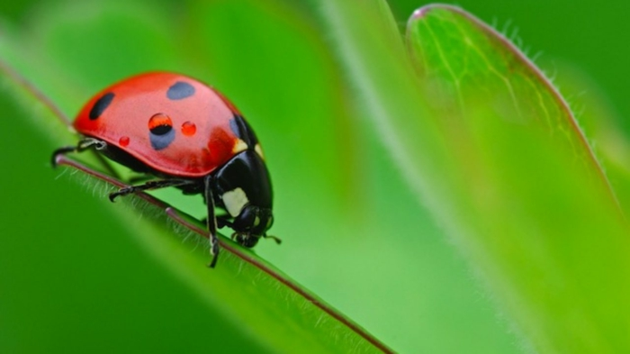 coccinelle jardiner au naturel biodiversité