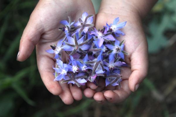 fleurs comestibles bourrache