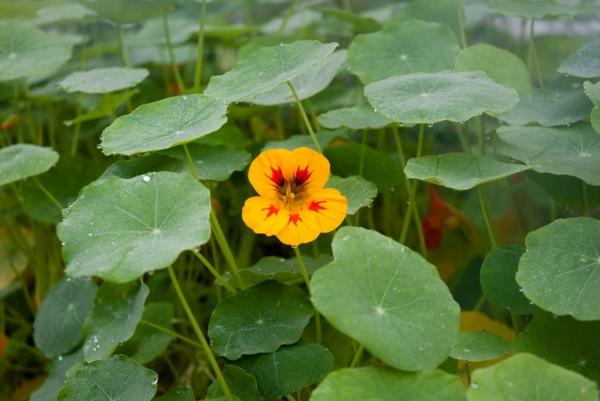 fleurs comestibles capucine