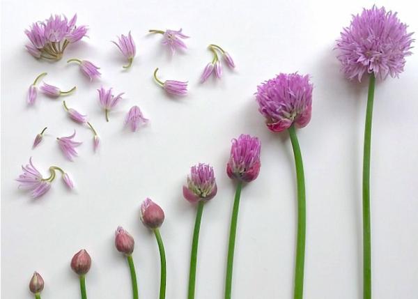 fleurs comestibles de ciboulette
