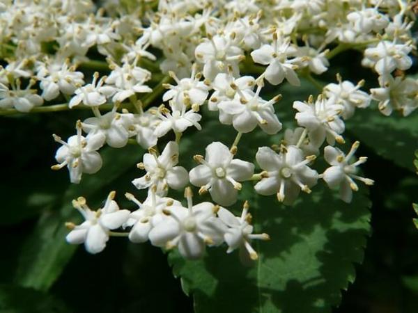 fleurs comestibles de sureau