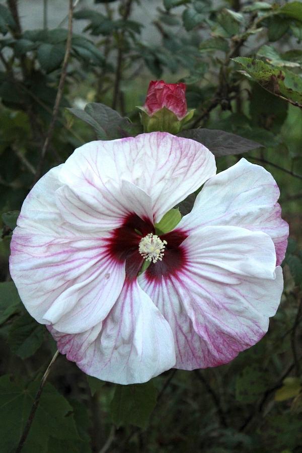 fleurs comestibles hibiscus