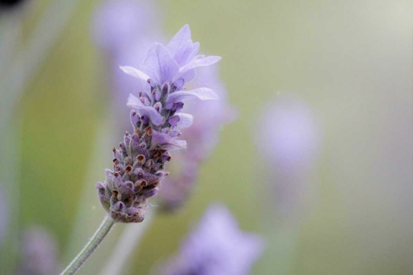 fleurs comestibles lavande