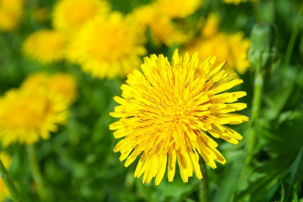 fleurs comestibles pissenlit