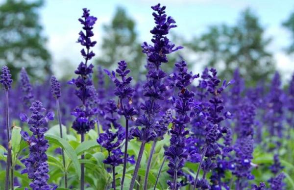 fleurs comestibles sauge