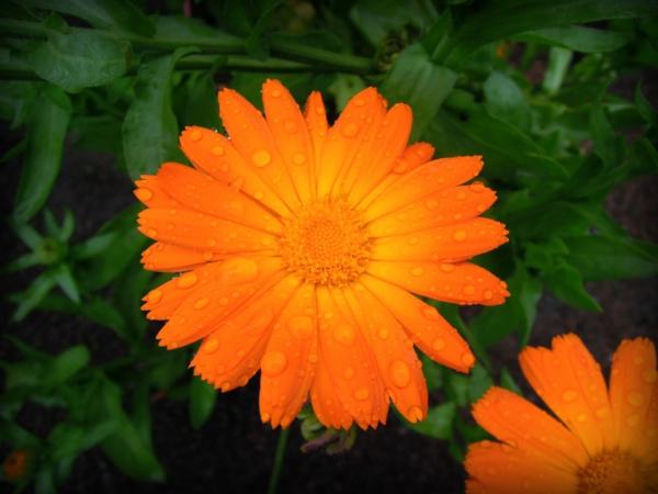 fleurs comestibles souci