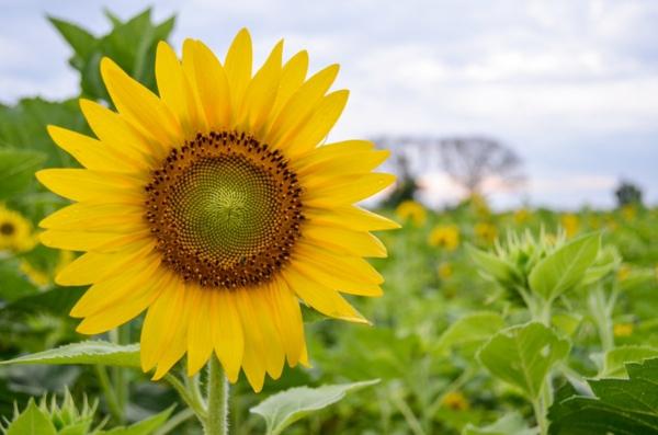 fleurs comestibles tournesol