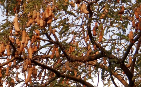 le fruit tamarin arbre mûri