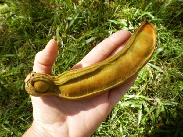 le fruit tamarin avant de mûrir
