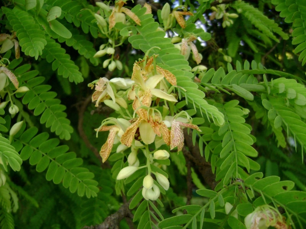 le fruit tamarin période de floraison