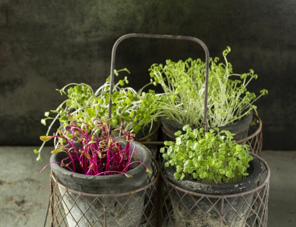 micro-pousses de radis betterave et cresson