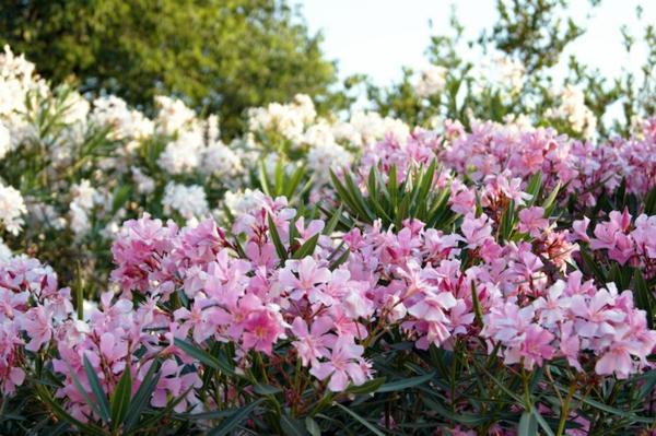 plante laurier-rose