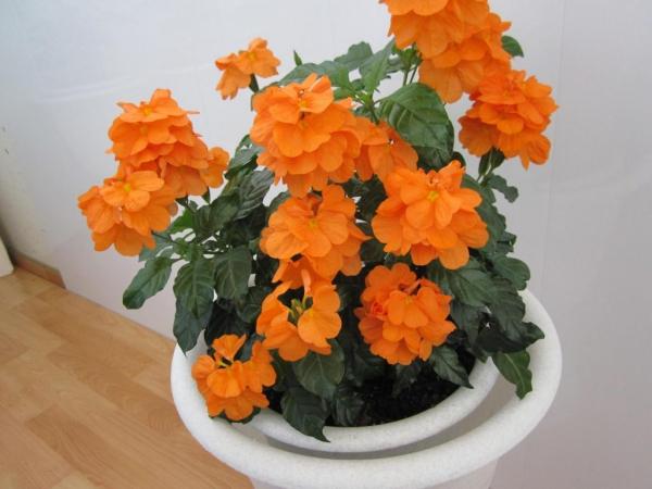 plante porte-bonheur Crossandra Fortuna