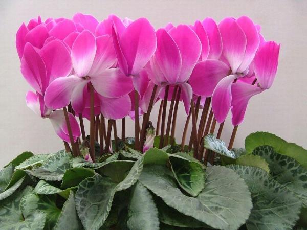 plante porte-bonheur couleur rose du cyclamen