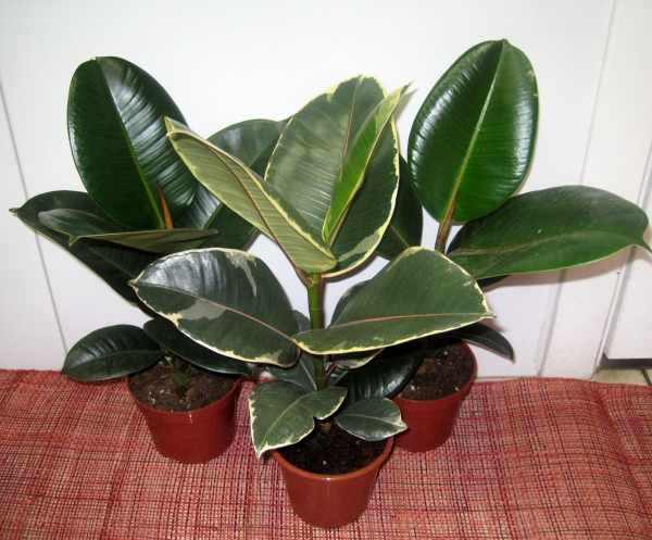 plante porte-bonheur des feuilles larges et brillantes