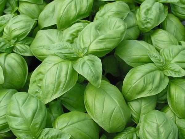 plante porte-bonheur herbe aromatique