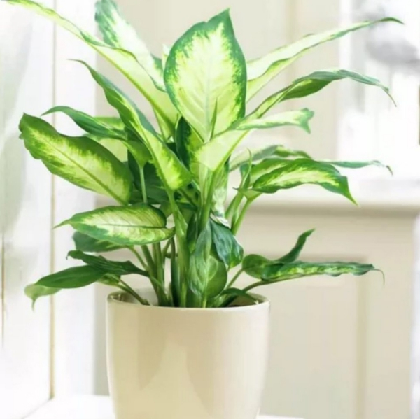 plante porte-bonheur originaire des Tropiques