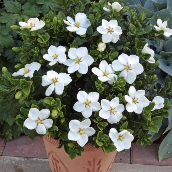 plante porte-bonheur un arbuste aux feuilles persistantes
