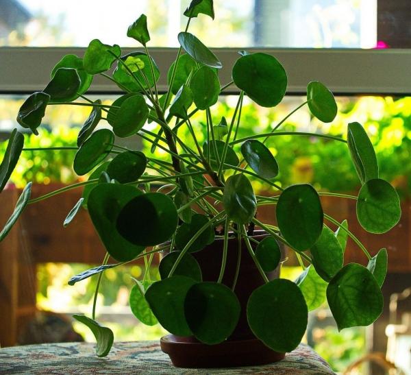 plante porte-bonheur un véritable joyau