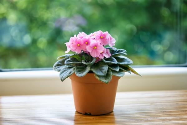 plante porte-bonheur une jolie violette