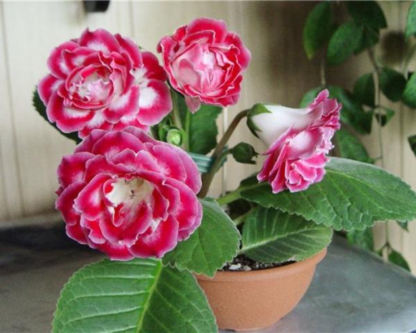plante porte-bonheur une plante d'intérieur populaire