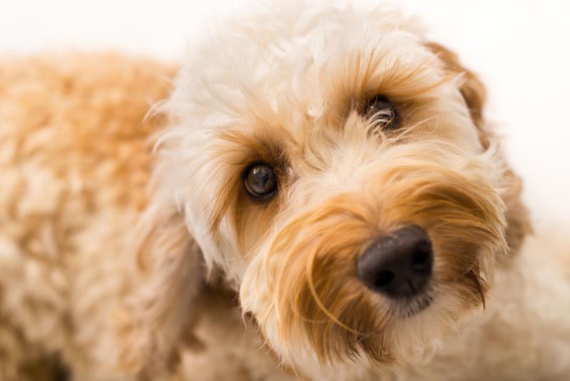 quelle race de chien choisir ayant une allergie