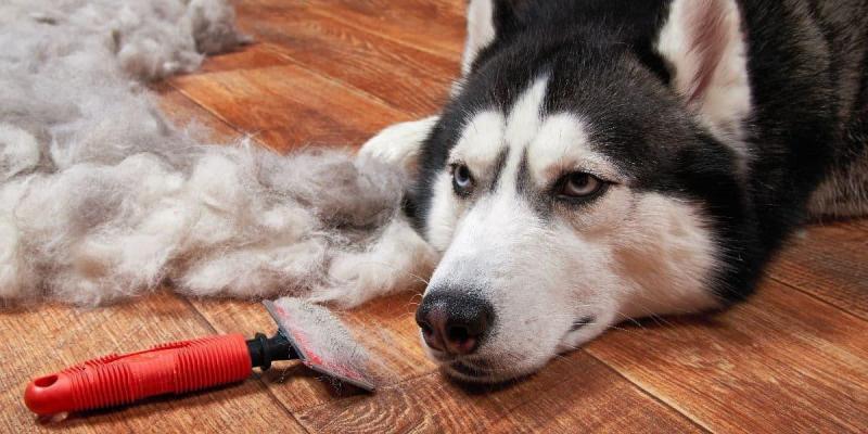 quelle race de chien choisir des poils partout