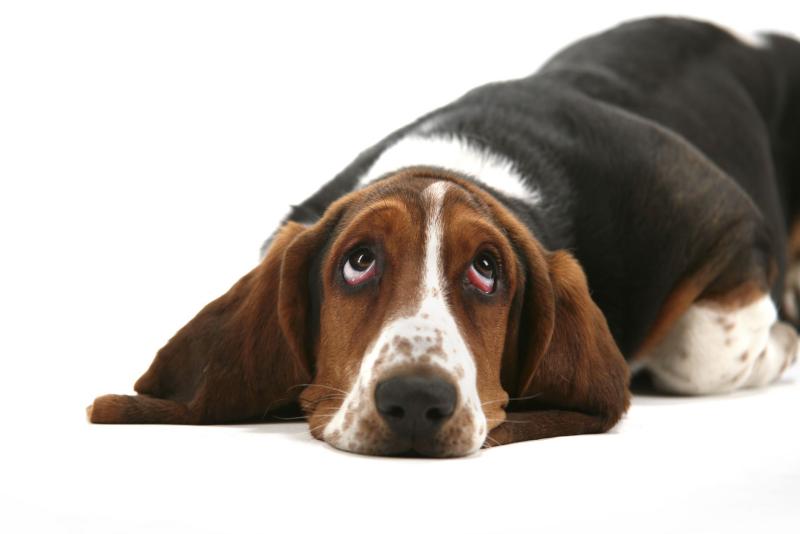 quelle race de chien choisir la tolérance au bruit