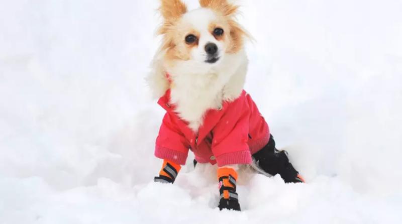 quelle race de chien choisir résistant au froid