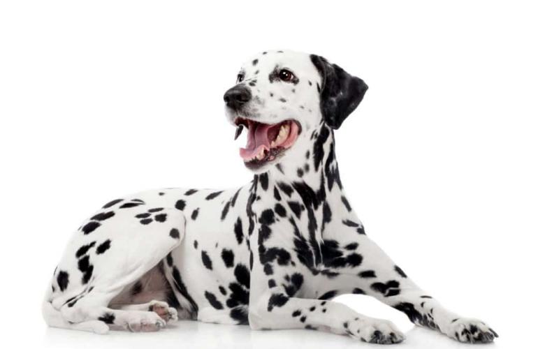 quelle race de chien choisir race dalmatienne