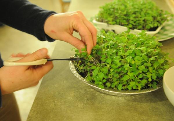 récolter des micro-pousses