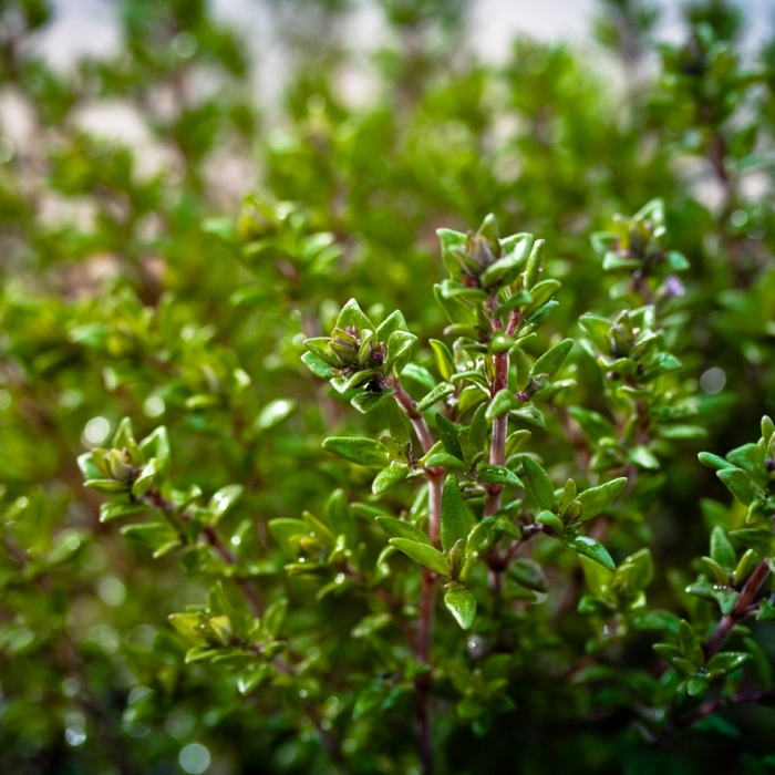 thym au jardin conseils jardiner au naturel
