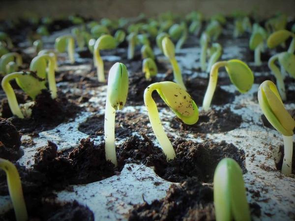 Faciliter la germination des graines à l'aide de vinaigre