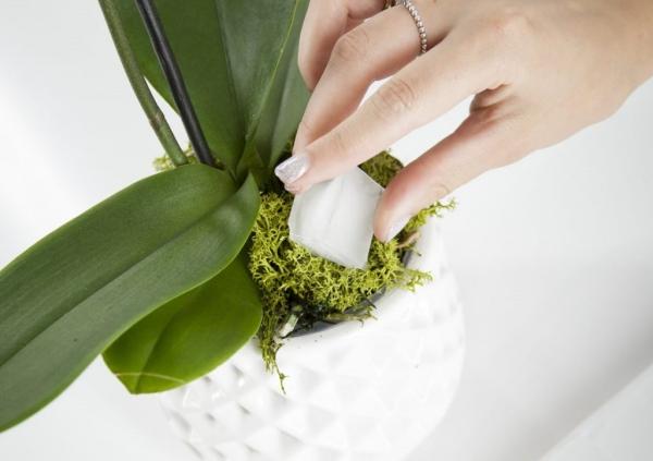 comment arroser une orchidée glaçons