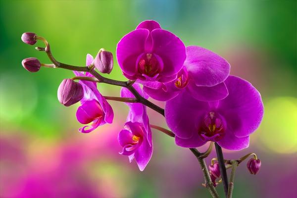 comment arroser une orchidée pour avoir de belles fleurs