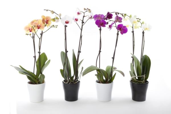 comment arroser une orchidée pour avoir une plante saine