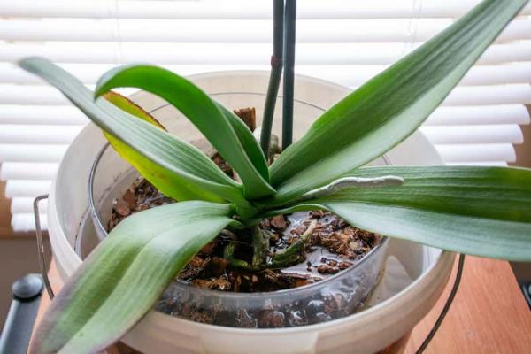 comment arroser une orchidée trempage
