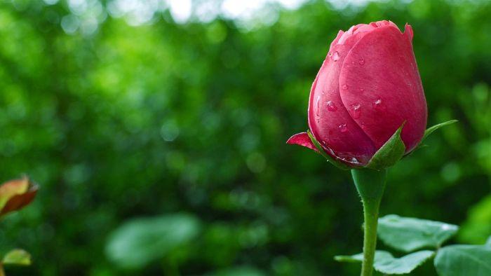 conseils d'entetien rosier en pot